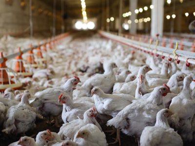 Interrogazione indennizzi ad aziende settore avicoltura per capi abbattuti